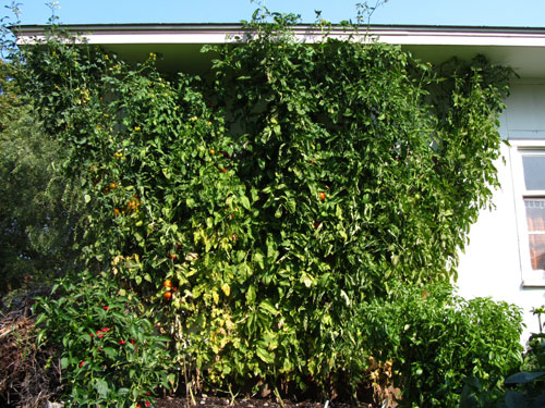 Nine Foot Tomato Plants