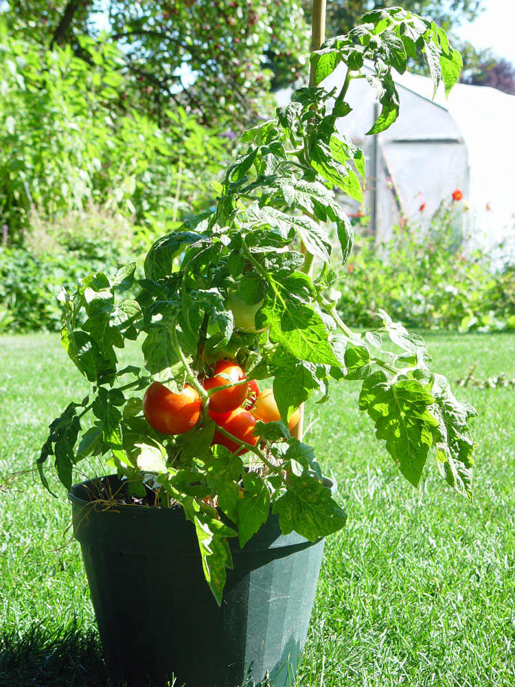 Image Result For Container Gardening Tomatoes