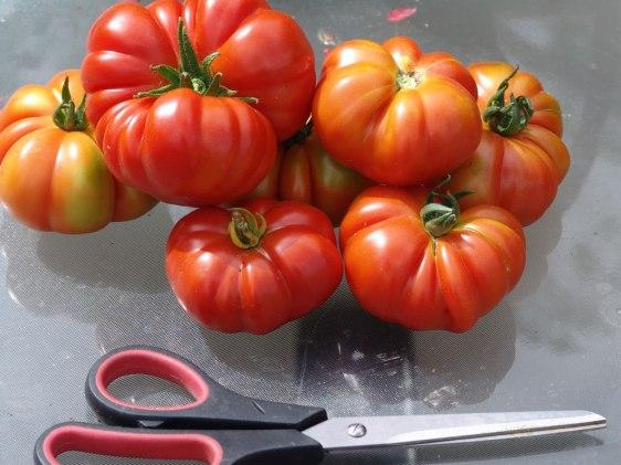 tomato-fiorintino