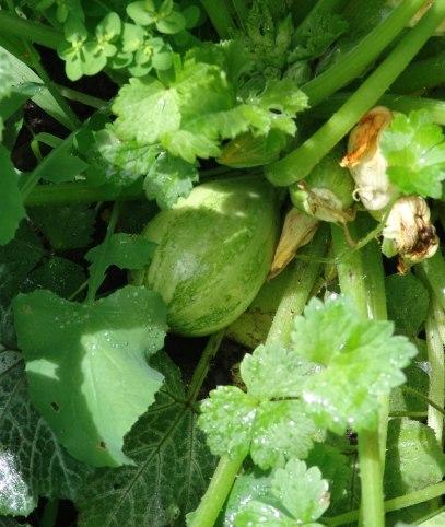 eight-ball-zucchini