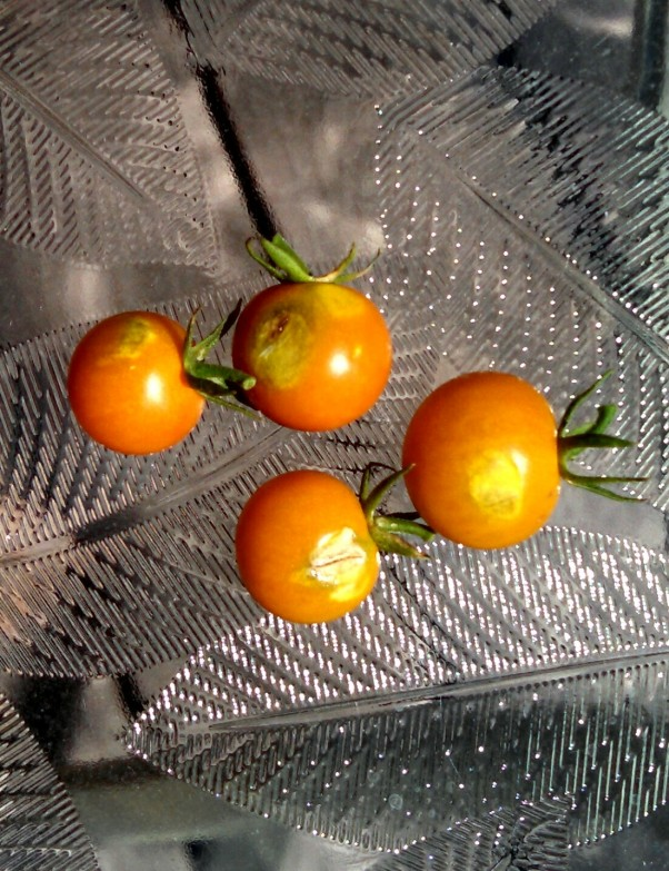 cherry tomatoes with sunburn
