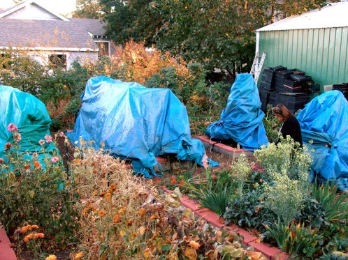 tomatoes-with-tarp
