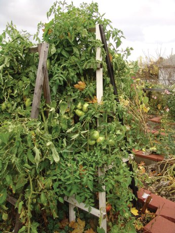 tomato-plant-late-oct