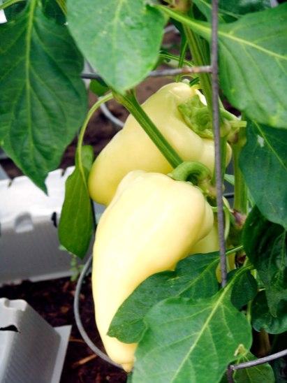 bianca-pepper