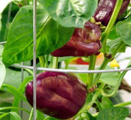 islander-in-purple