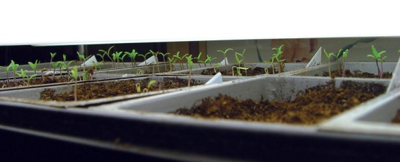 tomato_seedlings_2