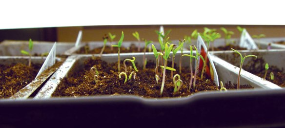 tomato_seedlings_3