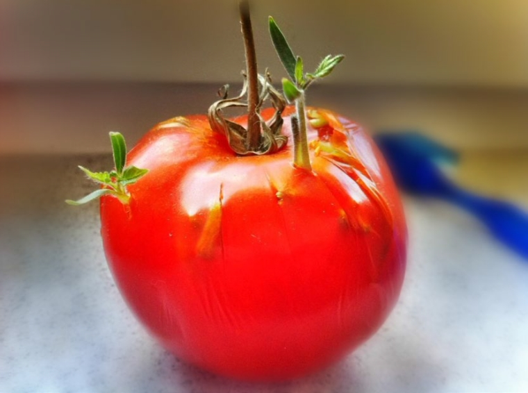 seeds-sprouting-inside-tomato-1
