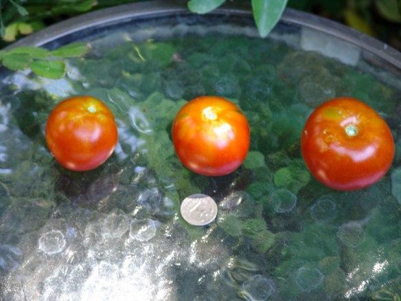 krainiy-sever-quarter-3-tomatoes