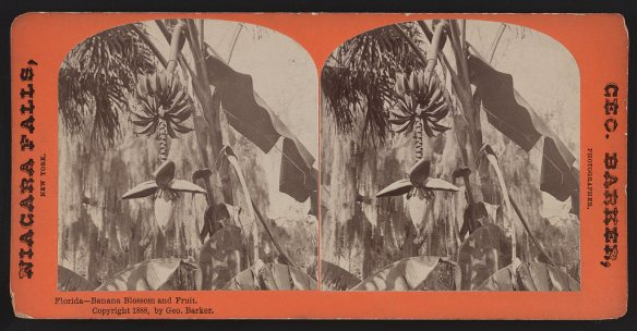 Photographs of banana blossoms and fruit growing in Florida in 1888.