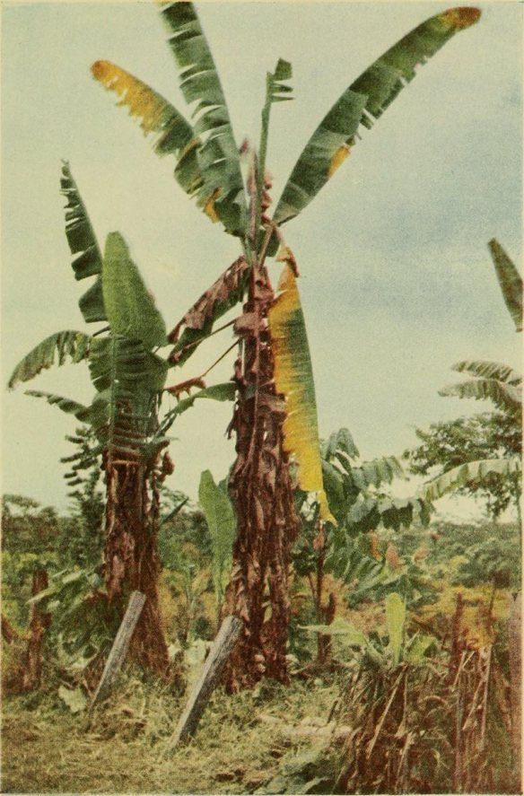 A 1918 photograph shows Gros Michel plants struck by Panama disease.