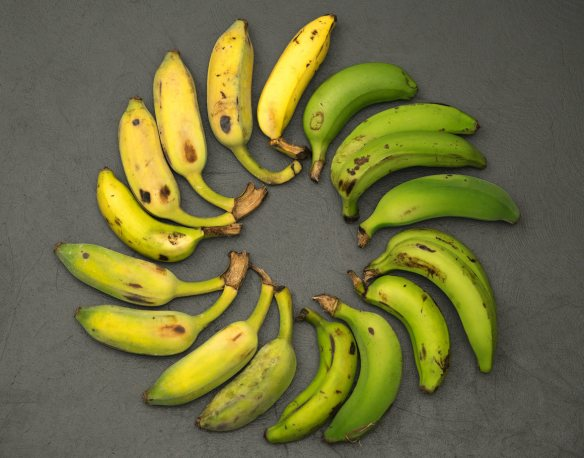 A selection of Gros Michel bananas, grown in Florida.