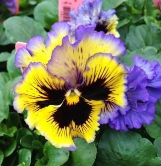 Frizzle Sizzle Blue and Yellow