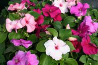 impatiens_accent_mystic_mix