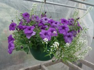 petunia evening scentsation33