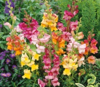 snapdragon-bizarre-mix-