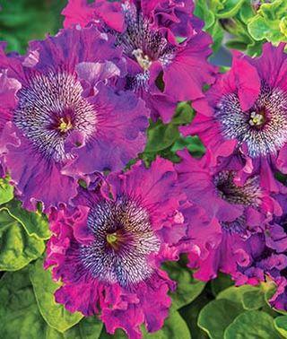 spellbound dark purple