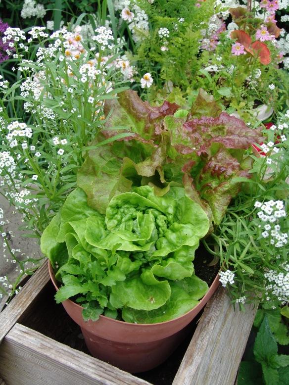 lettuce tom thumb prizehead