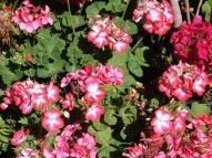geraniums 201982