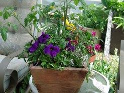 tomato with petunias