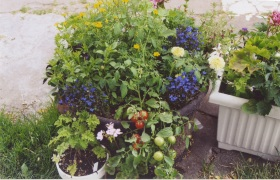 tomatoes spilling over a pot with flowers