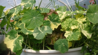 nasturtiums and lettuce